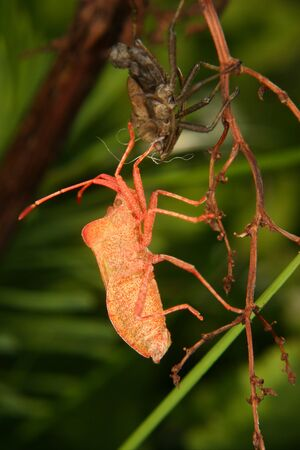 squash bug: Dock bug (Coreus marginatus) shortly after the maturity molt Stock Photo
