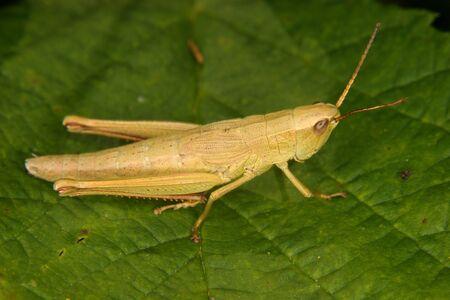 chorthippus: Grasshopper (Chorthippus) - larva on a leaf
