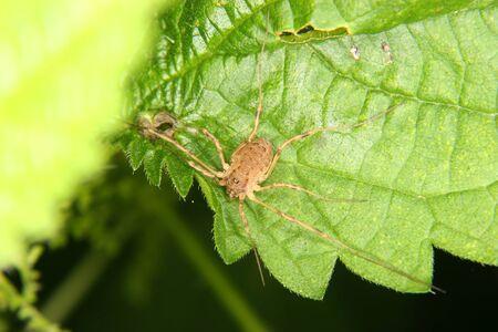 Daddy longleg (Opiliones) on a leaf photo