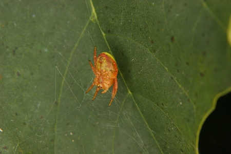 araniella cucurbitina: Cucumber green spider (Araniella cucurbitina) - female in the cobweb Stock Photo