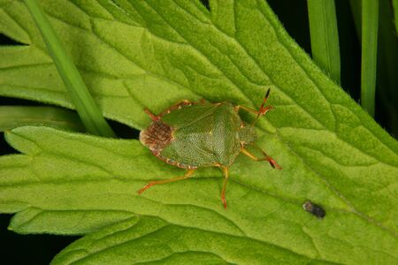 Green shield bug (Palomena prasina) -  larva on a leaf Stock Photo - 10677520