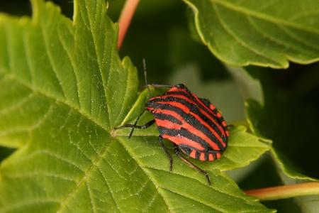 Strip bugs (Graphosoma lineatum) on a leaf photo
