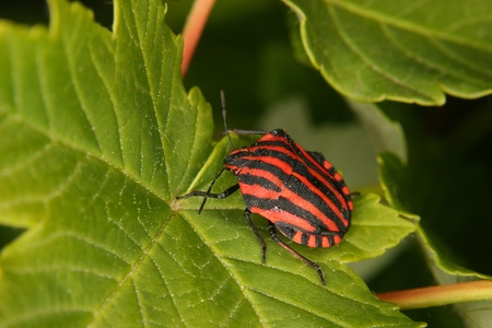 graphosoma: Strip bugs (Graphosoma lineatum) on a leaf Stock Photo