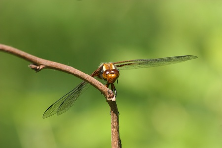 predatory insect: Broad-bodied Chaser (Libellula depressa) - female on a branch Stock Photo
