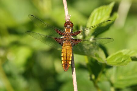 libellula: Broad-bodied Chaser (Libellula depressa) - female on a branch Stock Photo