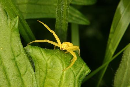 vatia: Goldenrod granchio ragno (Misumena vatia) su una foglia Archivio Fotografico