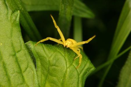 goldenrod crab spider: Goldenrod  crab spider (Misumena vatia)  on a leaf  Stock Photo