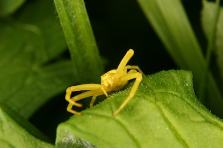 goldenrod spider: Goldenrod  crab spider (Misumena vatia)  on a leaf  Stock Photo