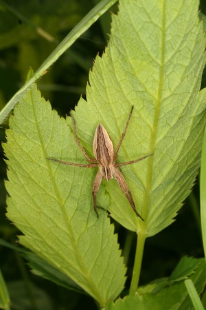 Nursery web spider (Pisaura mirabilis) on a leaf photo