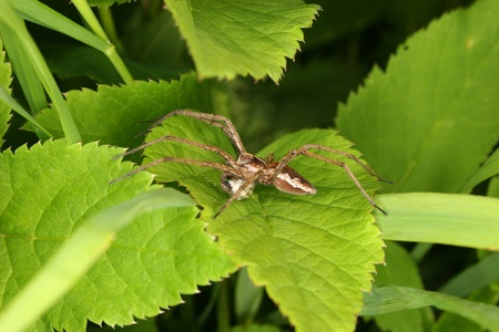 pisaura mirabilis: Nursery web spider (Pisaura mirabilis) - male on a leaf, with webbed booty bridal gift Stock Photo