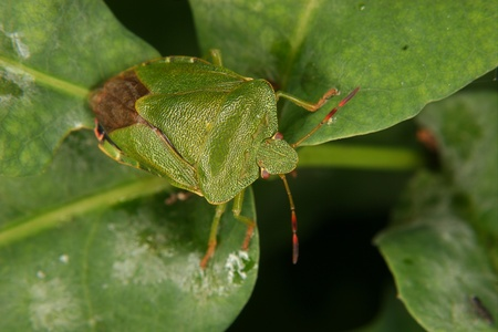 green shield bug: Green shield bug (Palomena prasina) on a leaf