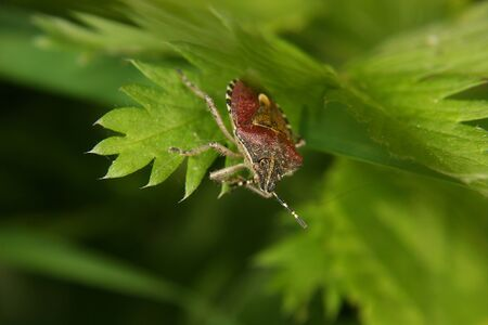 Parent bug (Elasmucha grisea) on a leaf - portrait Stock Photo - 10677519