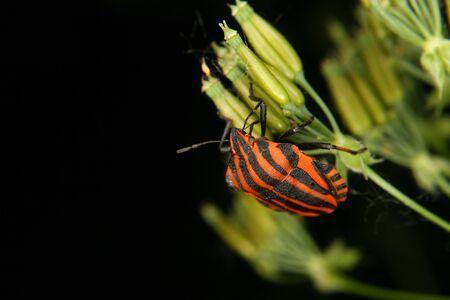 Strip bugs (Graphosoma lineatum) on a flower photo