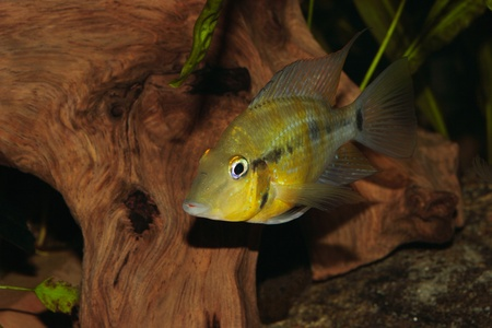 Yellow Fire Mouth (Thorichthys passionis) - Male