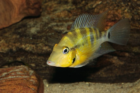 large cichlid: Yellow Fire Mouth (Thorichthys passionis) - Male