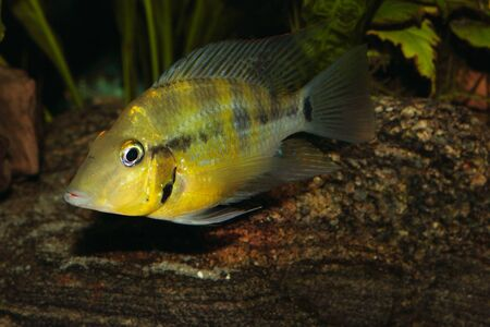 Yellow Fire Mouth (Thorichthys passionis) - Male Stock Photo - 12503105