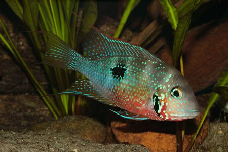 large cichlid: Mexican Fire Mouth (Thorichthys ellioti) - Male with some juveniles