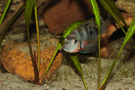 large cichlid: Mexican Fire Mouth (Thorichthys ellioti) - Female with a small flock of juvenile fish