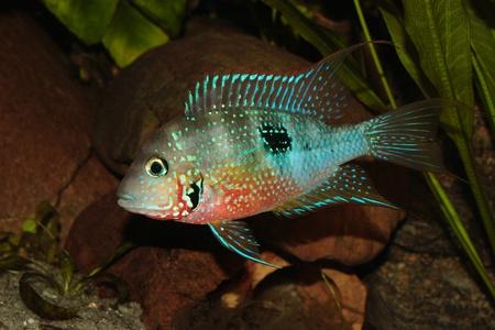 thorichthys: Mexican Fire Mouth (Thorichthys ellioti) - Male