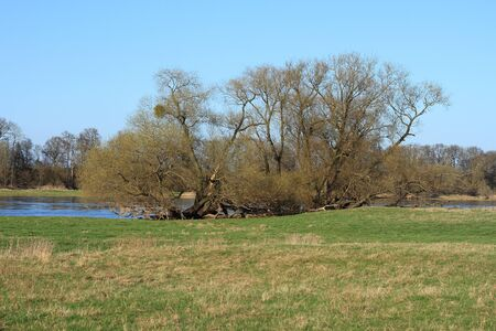 Willows in a floodplain in early spring photo