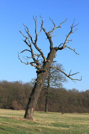 floodplain: Dead oak in a floodplain in early spring