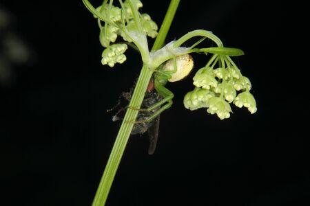 goldenrod spider: Goldenrod grancevola (Misumena vatia) - Femmina su un fiore con una mosca catturata Archivio Fotografico