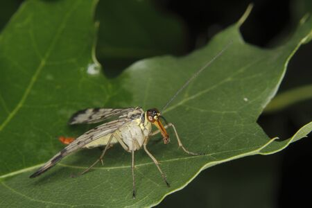 Common Scorpionfly (Panorpa communis) - female on a leaf photo