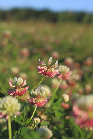 Blooming Alsike clover (Trifolium hybridum) in a meadow Stock Photo - 14922413