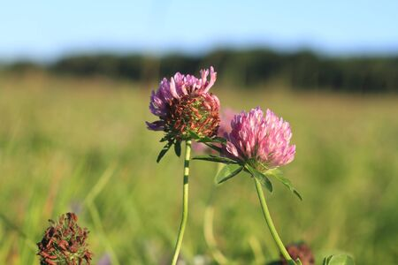 Blooming Zigzag clover (Trifolium medium) in a meadow Stock Photo - 14922446