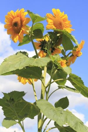 helianthus annuus: Flourishing sunflower  Helianthus annuus  in summer