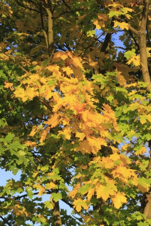 field maple: Colored foliage on a field maple (Acer campestre), in autumn
