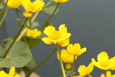 palustris: Flowering Marsh Marigold (Caltha palustris) on the banks of a pond
