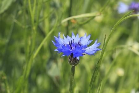 bachelor s button: Blooming Cornflower  Centaurea cyanus  in a field