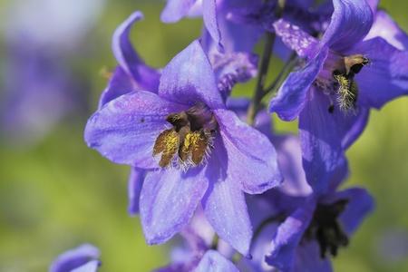 Flowers of Jacob Stock Photo - 22149595
