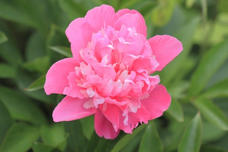 Blooming Peony (Paeonia) in a garden Stock Photo