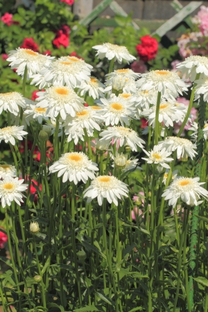Blooming daisies (Leucanthemum vulgare) in a garden Stock Photo