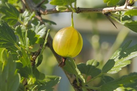 gooseberry bush: Gooseberry (Ribes uva-crispa) on a Gooseberry Bush Stock Photo
