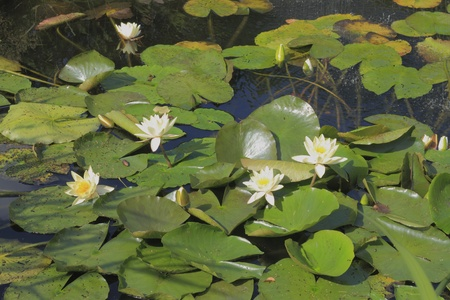 nymphaea: Blooming water lily (Nymphaea alba) in a pond