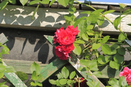 bourgeon: Flowering climbing rose (Rosa filipes) in a garden