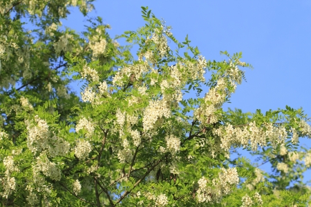 Blossoms of a black locust (Robinia pseudoacacia) in early summer