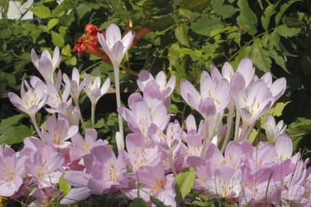 colchicum autumnale: Blooming autumn crocus  Colchicum autumnale  in a garden