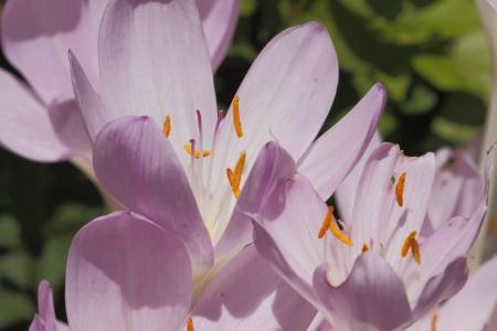 colchicum autumnale: Blooming autumn crocus (Colchicum autumnale) in a garden Stock Photo