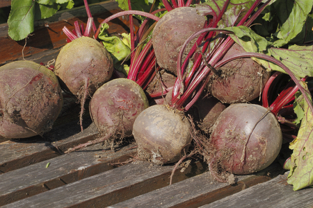 Freshly harvested beets  Beta vulgaris  photo