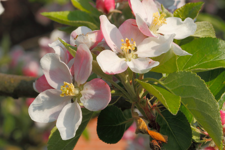 Apple blossoms on an apple tree in spring