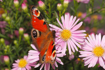 Peacock butterfly (inachis io) on a blooming aster