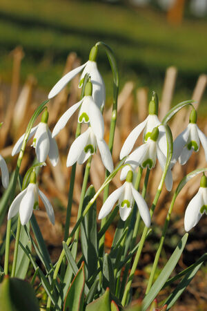galanthus: Blooming Snowdrops on a meadow Stock Photo