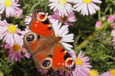 nymphalidae: Peacock butterfly (inachis io) on a blooming aster