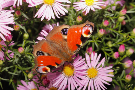 Peacock butterfly (inachis io) on a blooming aster photo