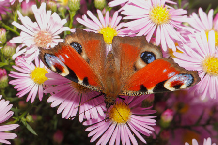 inachis: Peacock butterfly (inachis io) on a blooming aster