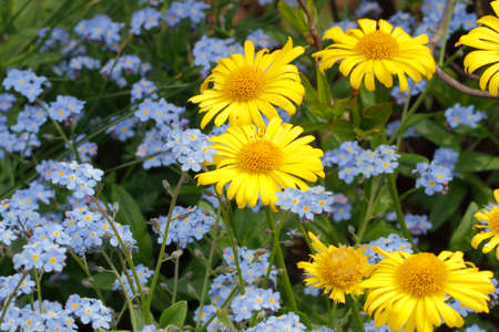 oxeye: Flowering oxeye daisies (Doronicum) and forget-me-nots (Myosotis) in a garden